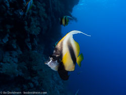 BD-090407-St-Johns-4072910-Heniochus-intermedius.-Steindachner.-1893-[Red-sea-bannerfish].jpg